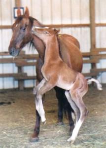 Ransom_foal_2B(1)_Adriana Kraft